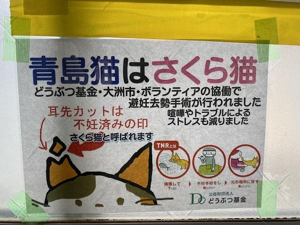 青島の桜猫