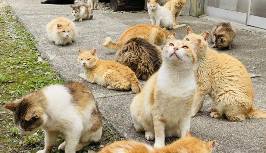 青島 ねこ好きがうれしい楽園 猫島 定期船あおしま 大洲市