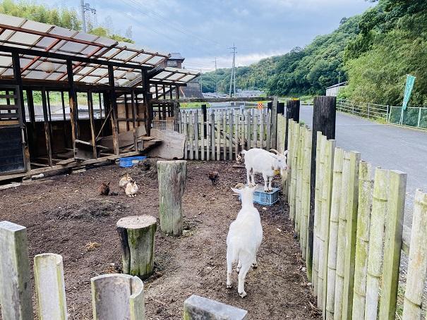 さぬきこだわり市 ミニ動物園 ヤギとウサギ