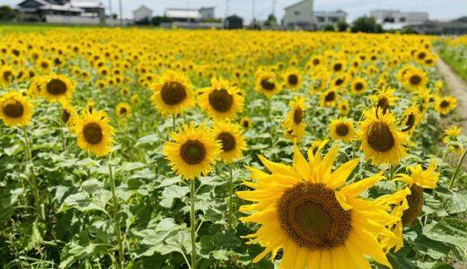 和想農園のヒマワリ畑 香南町ひまわりプロジェクト 高松市