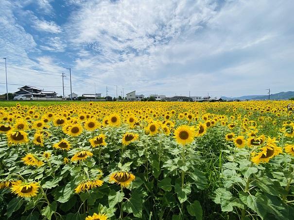 香南町ひまわりプロジェクト ひまわり畑