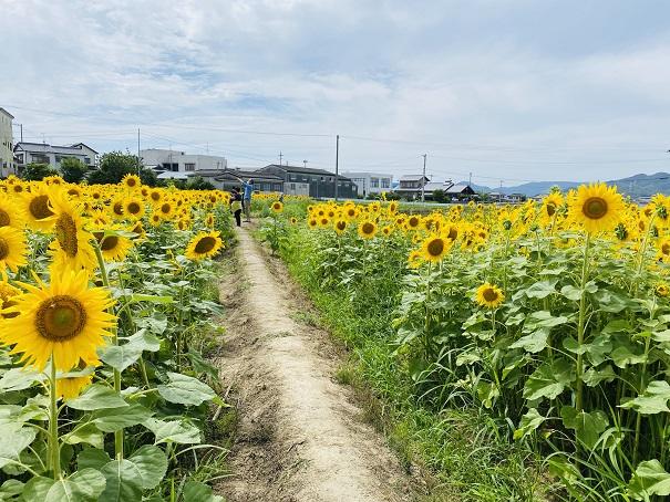 香南町ひまわり畑 間の道