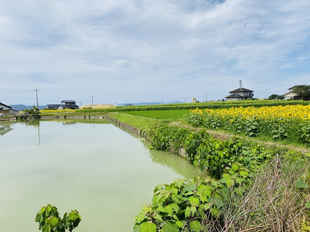 香南町ひまわり畑 池