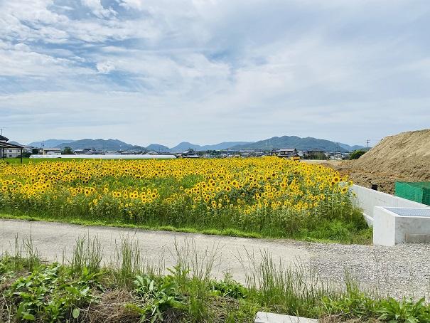 香南町ひまわり畑 池の向こうのひまわり