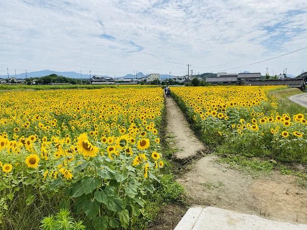 香南町ひまわり畑 低いひまわり畑全体