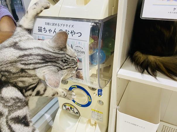 Moff animal cafeアリオ倉敷店ガチャガチャを探る猫
