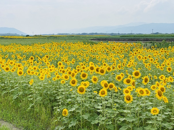 善入寺島 ひまわり鮮やかな黄色