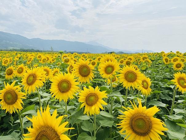 善入寺島 ひまわり画面いっぱいの黄色