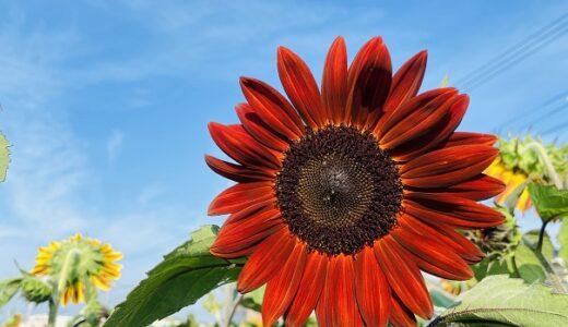 ひまわり畑西条 珍しい赤い向日葵が咲く河川敷 西条市