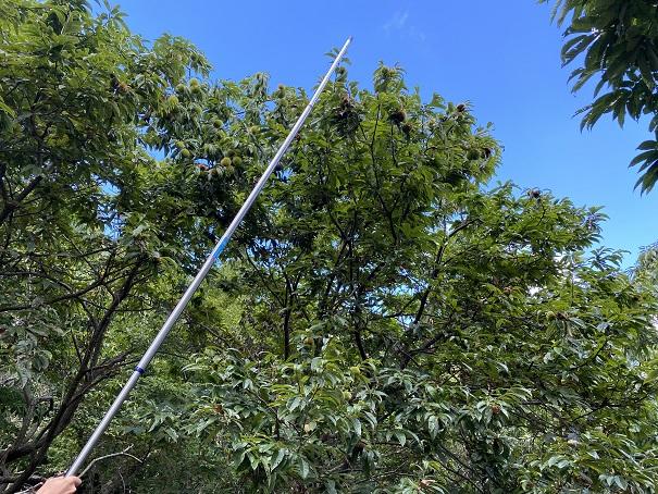 物干し竿で高い場所の栗を落とす