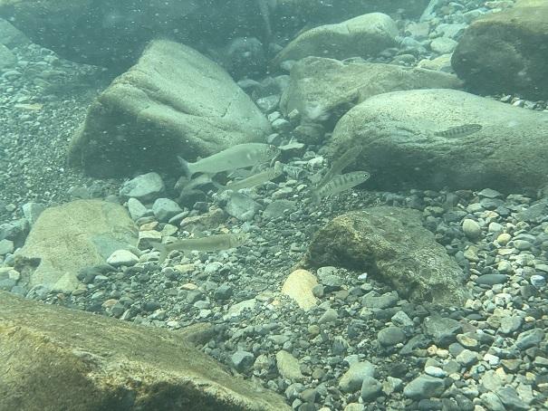シュノーケルで川のアユなど魚を観賞