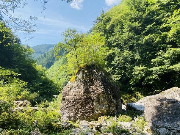 瀬戸川渓谷 岩から木