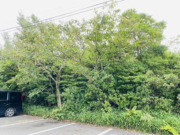 公園駐車場の栗の木