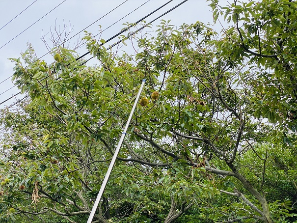 長い棒で木の上の栗の実を落とす
