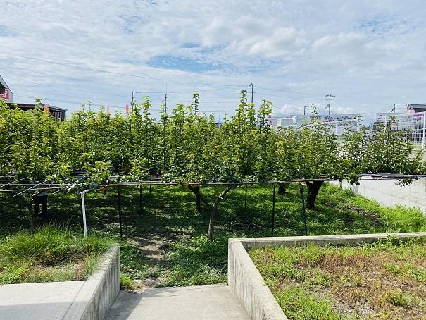 フルーツガーデンやまがた 梨の木