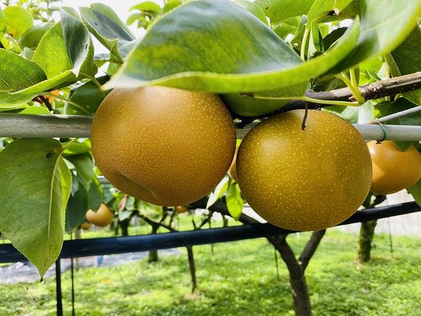 フルーツガーデンやまがた 梨の見分け方