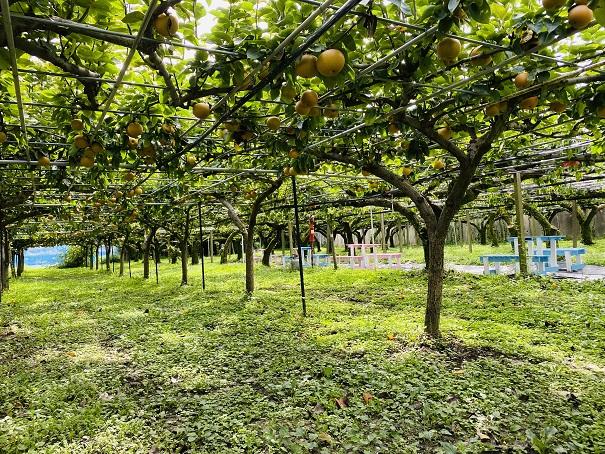 フルーツガーデンやまがた 梨の木の下