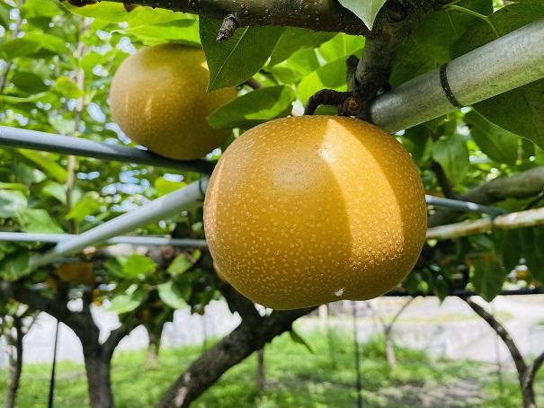 フルーツガーデンやまがた 梨狩り あきづき梨