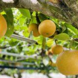 フルーツガーデンやまがた 梨狩り 食べ放題お土産付 鳴門市