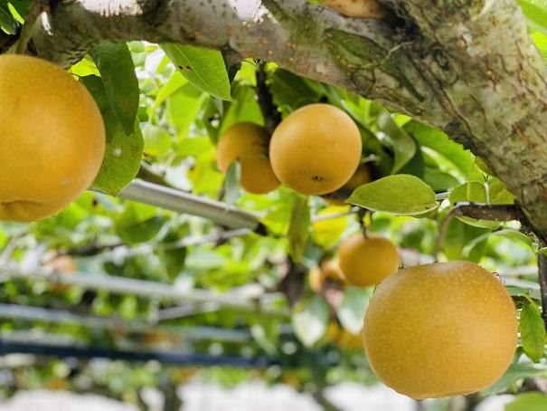 フルーツガーデンやまがた梨狩り