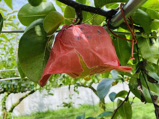 フルーツガーデンやまがた 梨狩り 豊水