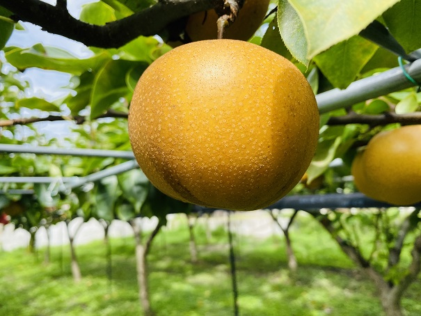 フルーツガーデンやまがた 梨狩り食べごろ梨