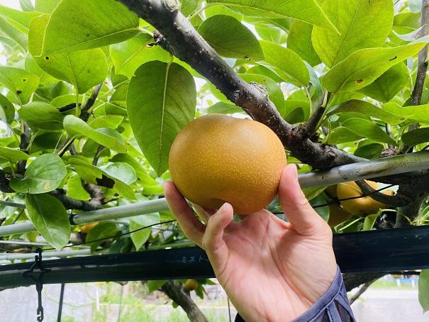 フルーツガーデンやまがた 梨狩り梨を持つ