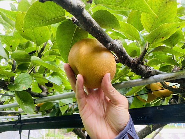 フルーツガーデンやまがた 梨狩り 梨を上に上げる