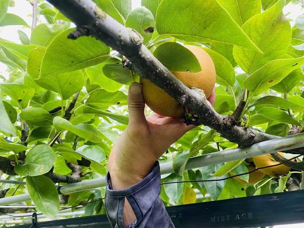 フルーツガーデンやまがた 梨狩り 梨をひっくり返す