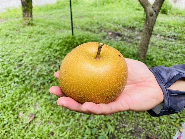 フルーツガーデンやまがた 梨狩り 取った梨