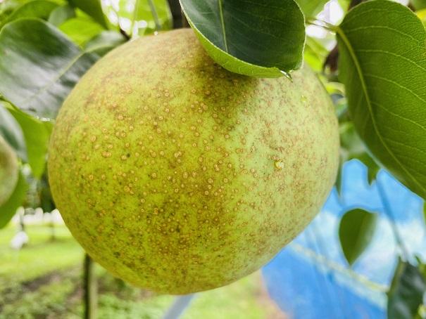 もぎとり果樹園芽野歌 香梨