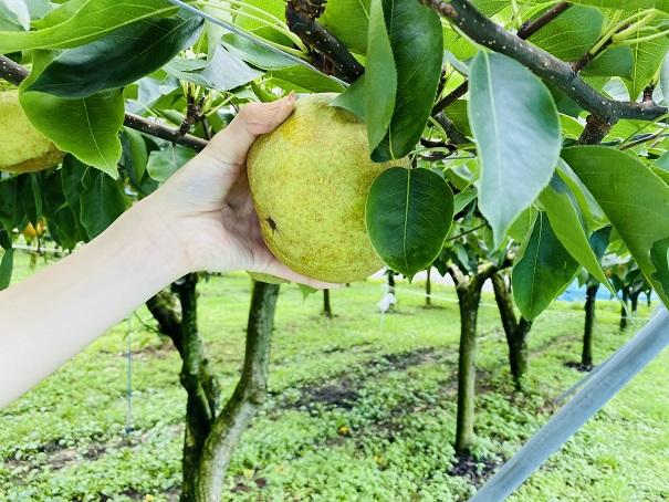 もぎとり果樹園芽野歌 香梨見つけた