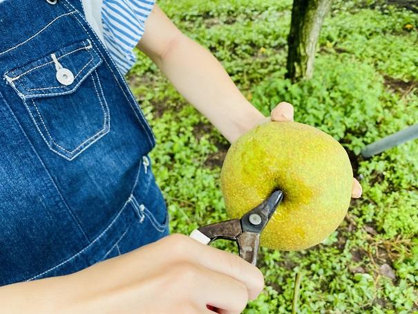もぎとり果樹園芽野歌 香梨ヘタを取る