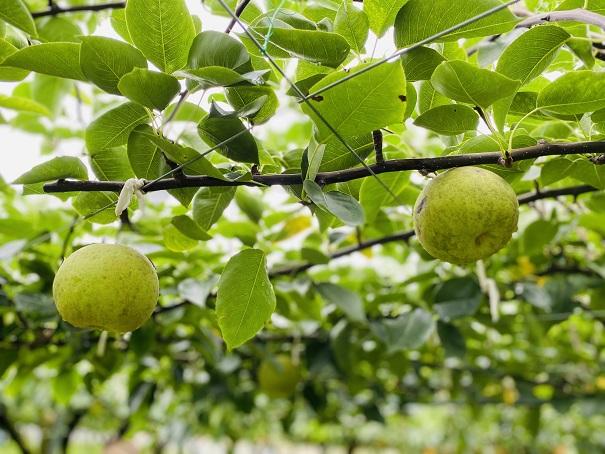 もぎとり果樹園芽野歌 香