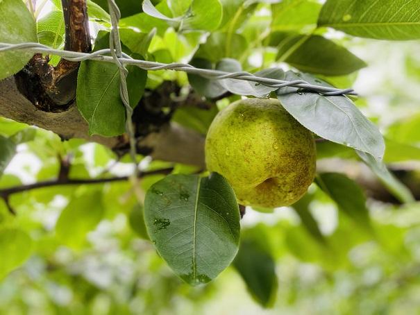 もぎとり果樹園芽野歌 青ナシ香梨