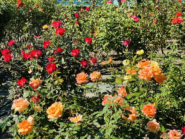 伊予三島運動公園 オレンジと赤のバラ