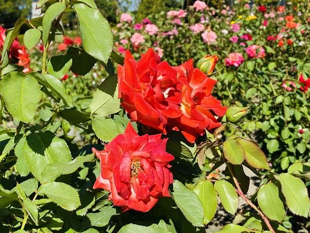 伊予三島運動公園 赤いバラアップ