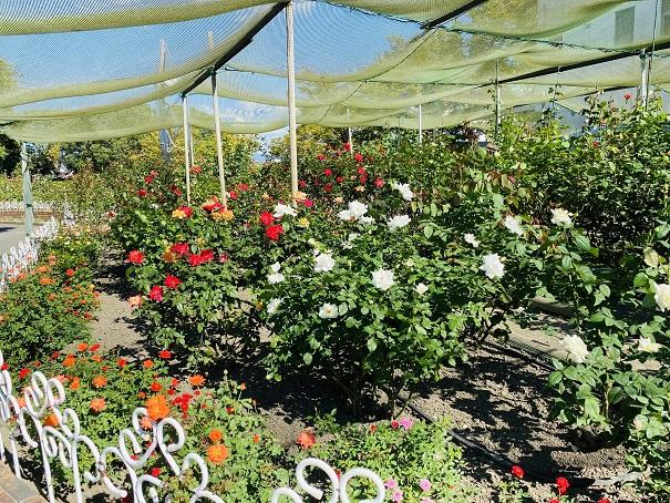 伊予三島運動公園 ネットの中のバラ