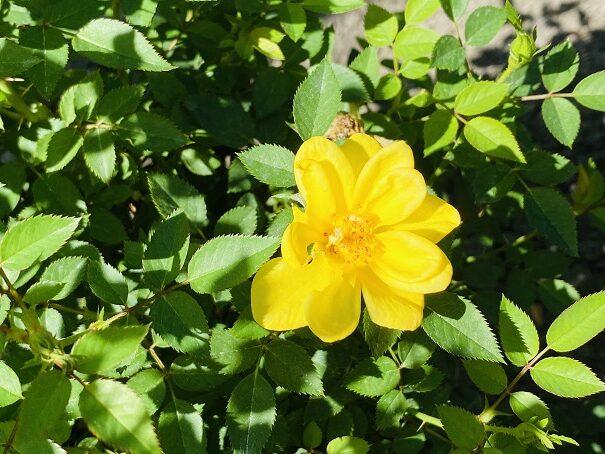 伊予三島運動公園 黄色いバラアップ