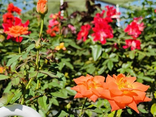 伊予三島運動公園 手前オレンジと赤いバラ