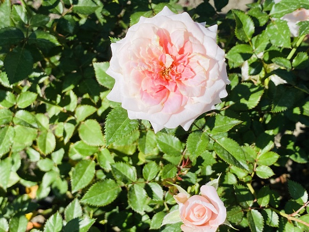 伊予三島運動公園 薄いピンクのバラ