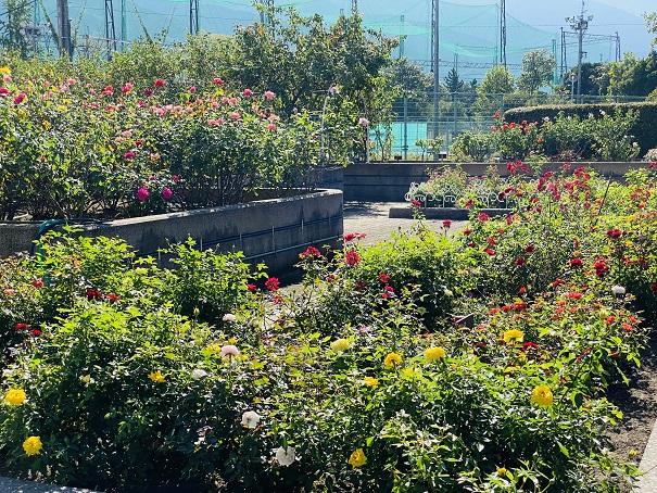 伊予三島運動公園 奥のバラ園