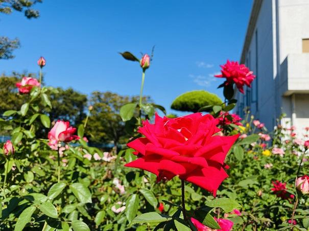 伊予三島運動公園 赤いバラと青い空