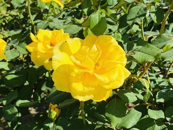 伊予三島運動公園 丸い花びらの黄色いバラ