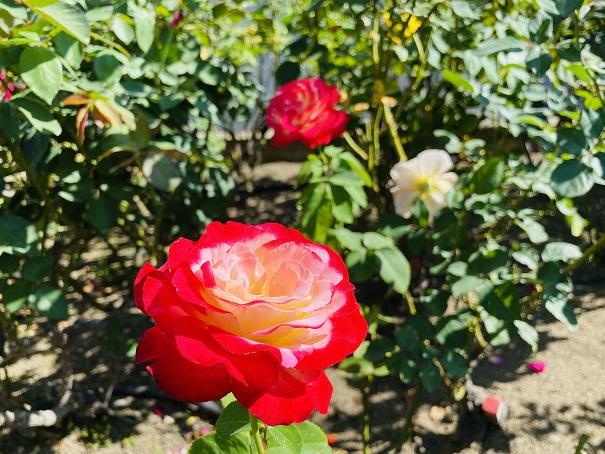 伊予三島運動公園 2色の花びらのバラ