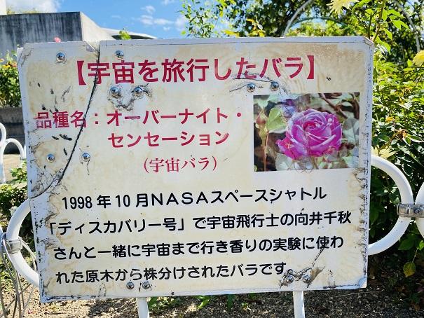 伊予三島運動公園 宇宙を旅行したバラ説明