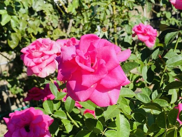 伊予三島運動公園 濃いピンクのバラアップ