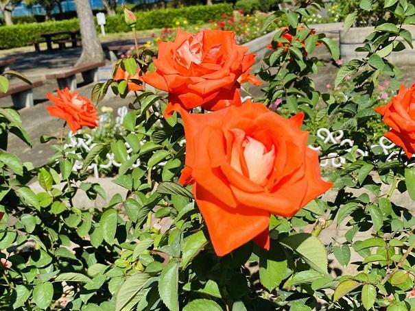 伊予三島運動公園 くるんとした花弁のオレンジのバラアップ