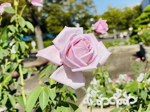 伊予三島運動公園 薄いピンクのバラアップ