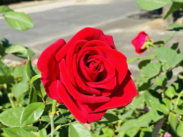 伊予三島運動公園 王道の赤いバラ